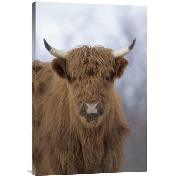 Michael Quinton 'Cattle, a highland breed, Kodiak Island, Alaska' Stretched Canvas Artwork