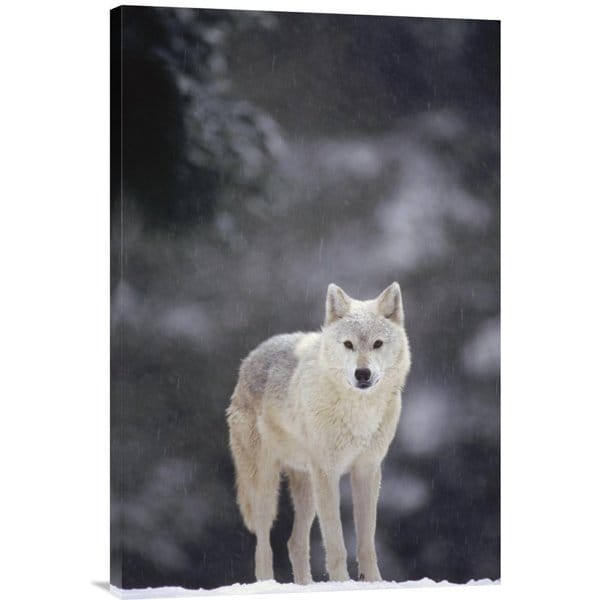 Gerry Ellis 'Timber Wolf female in falling snow, North America' Stretched Canvas Artwork