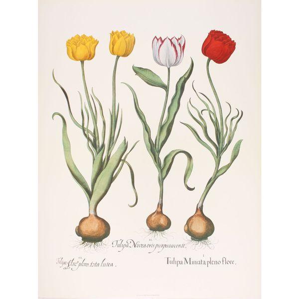 Tulips IV, Basilius Besler