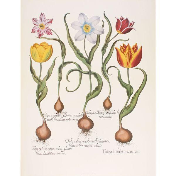 Tulips III, Basilius Besler