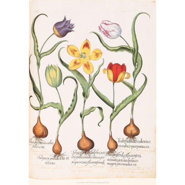 Tulip Botanical, Basilius Besler