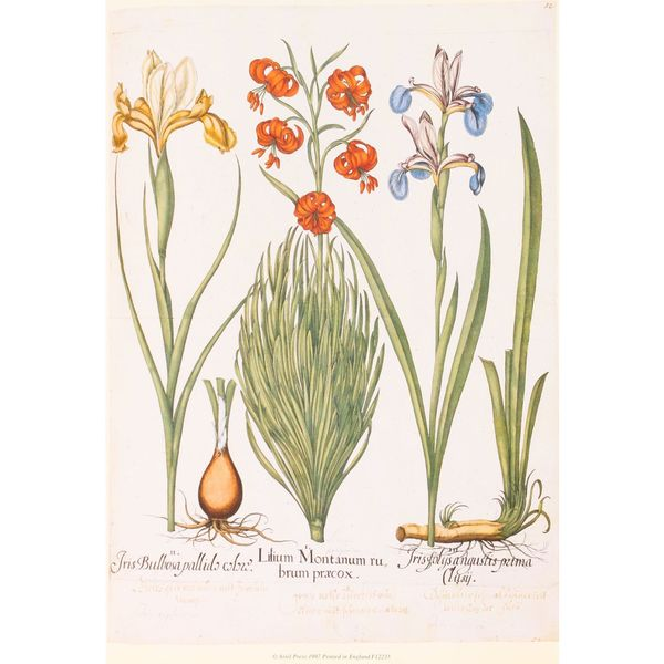 Iris & Lily, Basilius Besler