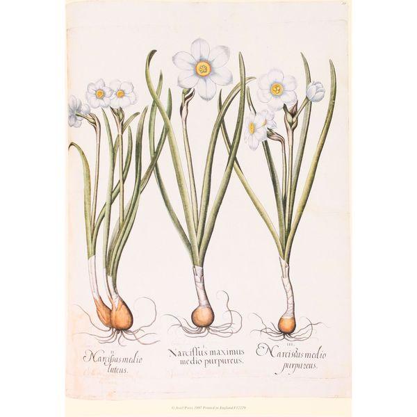 Daffodil Botanical, Basilius Besler