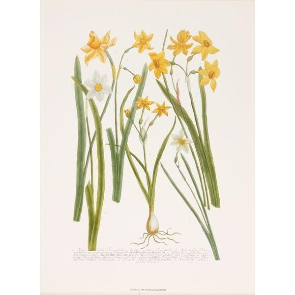 Daffodils IV, Johann Weinmann