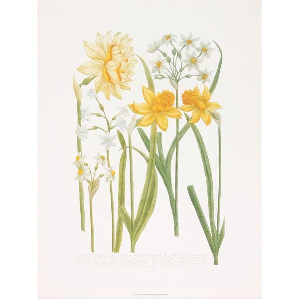 Daffodils III, Johann Weinmann