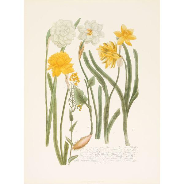 Daffodils II, Johann Weinmann