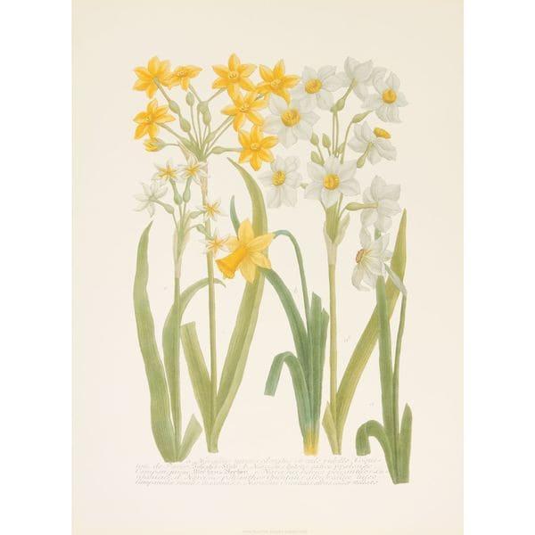 Daffodils I, Johann Weinmann