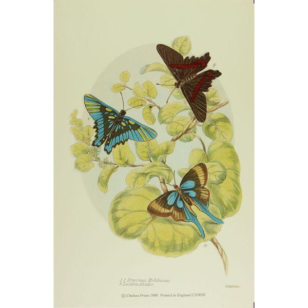 19th-C. Erycina Melibaeus