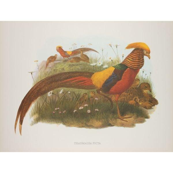Thaumalea Picta, D.G. Elliot