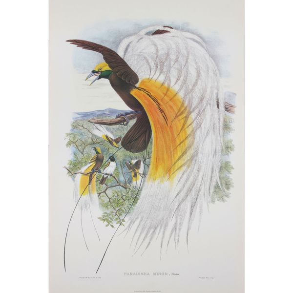 Paradisea Minor, John Gould