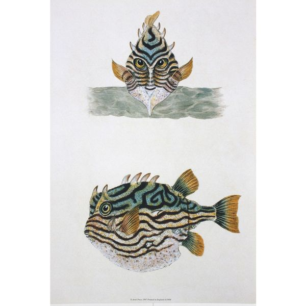 Blowfish, Maria Sibylla Merian