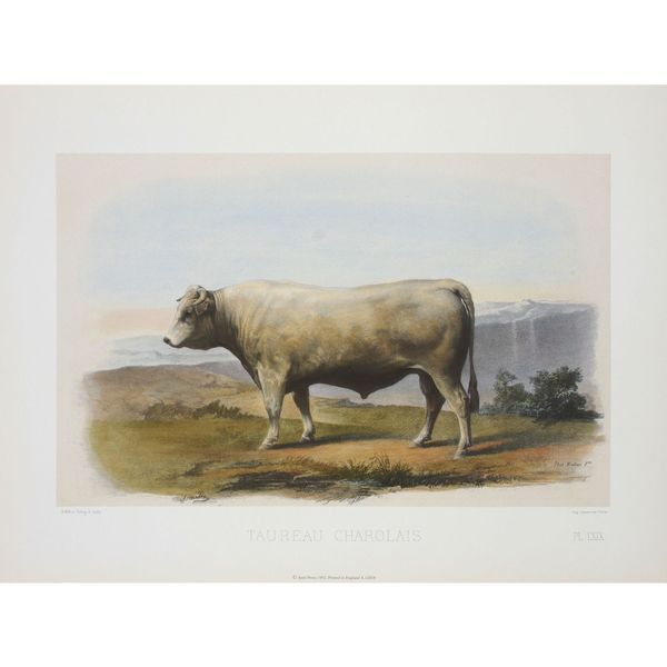 Taureau Charolais, David Low