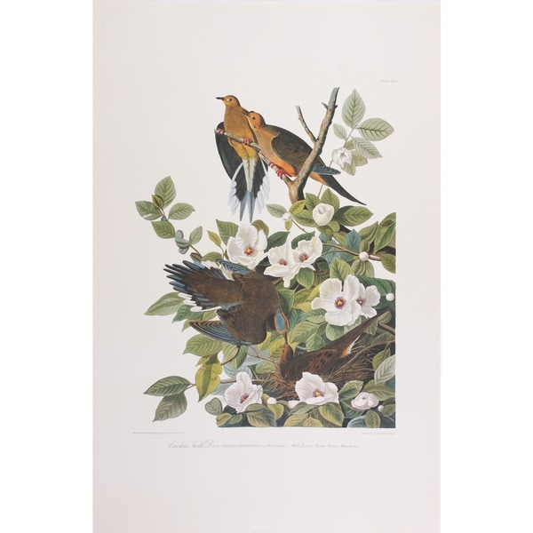 Turtle Dove, Audubon Print Art
