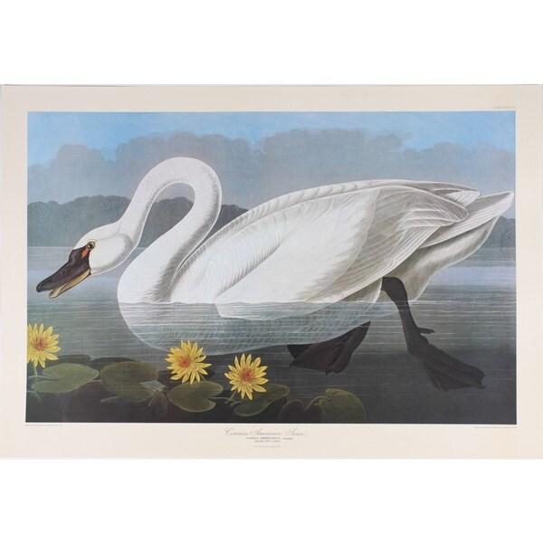 American Swan, Audubon Print Art