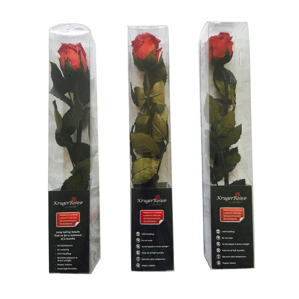 Krugerrose Preserved Mini Rose Tube (Pack of 3)