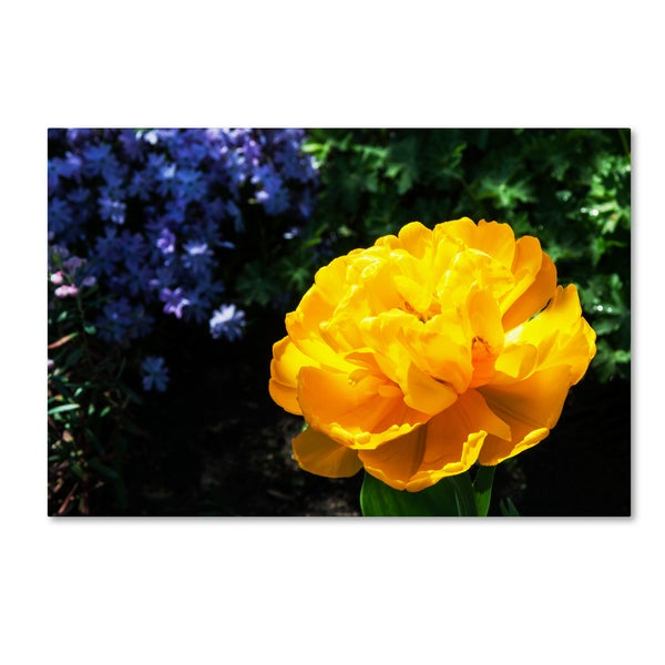 Kurt Shaffer 'Yellow Double Headed Tulip' Canvas Art