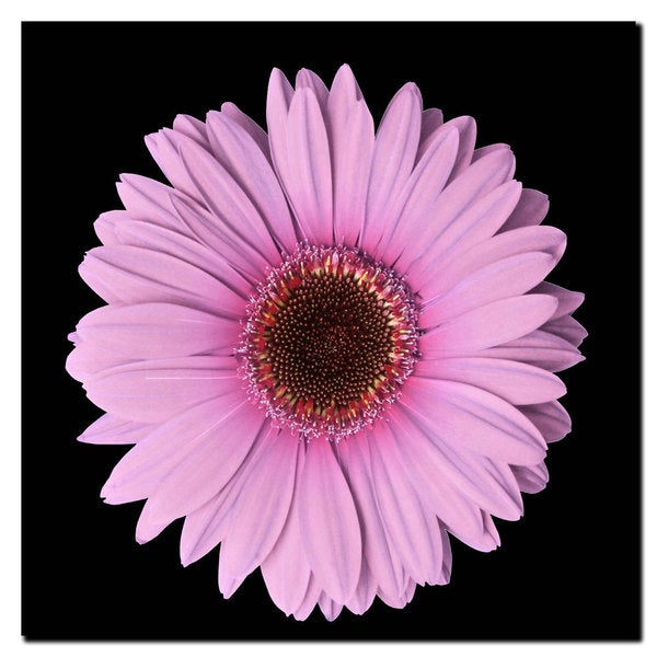 Flower Art 'Pink Gerber Daisy' Canvas Wall Art