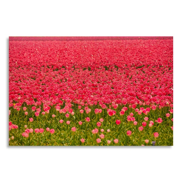 Beautiful pink tulips during sunny day in summer' Printed on Birchwood Wall Art