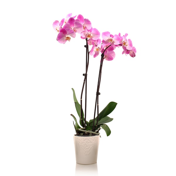 Just Add Ice Phalaenopsis Orchid