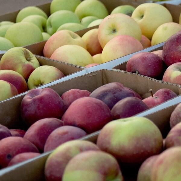 Radical Simplicity Marketing 12-apple Gift Box Bundle