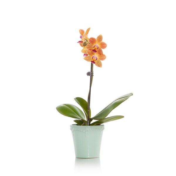 Just Add Ice Mini Orchid