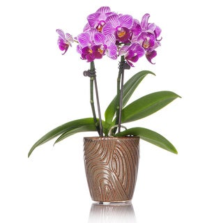 Just Add Ice® Wood Grain Potted Mini Orchid