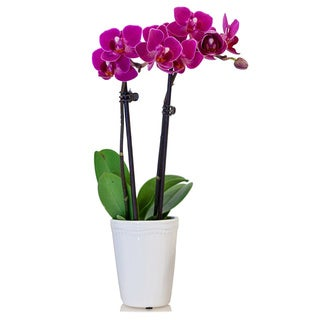 Just Add Ice® Mindy Potted Mini Orchid