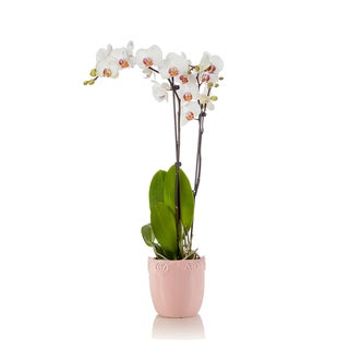 Just Add Ice White Double Spike Phalaenopsis Orchid with Pink Ceramic Pot