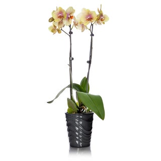 Just Add Ice Double Spike Yellow Phalaenopsis Orchid with Wavy Grey Ceramic Pot