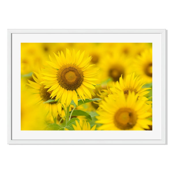 Gallery Direct Sunflower Field Photograph Print on Paper Framed Print