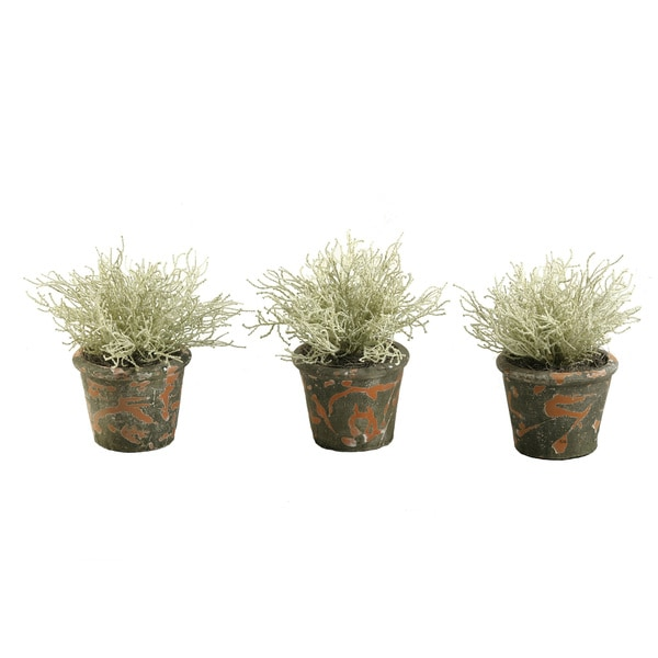 Santolinia Bush in Terra Cotta Pot (Set of 3)