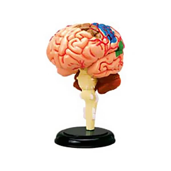 TEDCO Toys 3.5-inch Deatachable Human Brain Anatomy Model