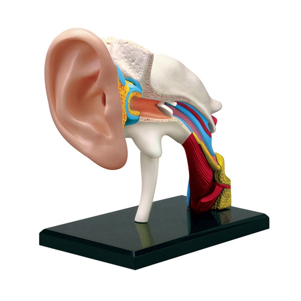 Tedco Toys Kids Classroom Ear Anatomy Model