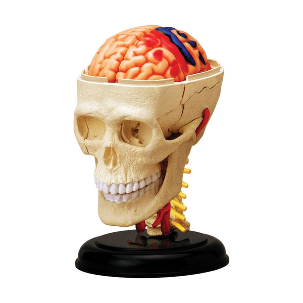Tedco Toys Kids Classroom Multi-color 4.5-inch Cranial Nerve Skull Anatomy Model