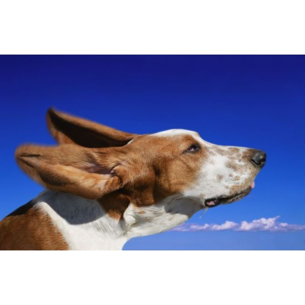 Design Pics 'Dog with Ears in the Wind' Gallery Wrapped Canvas