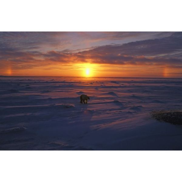 Design Pics 'Polar Bear in Arctic Sunset' Gallery Wrapped Canvas