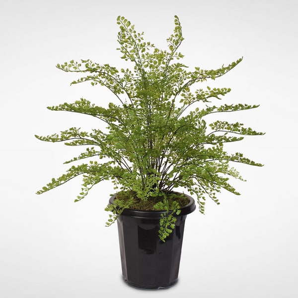 Maidenhair Plant with Black Terracotta Pot