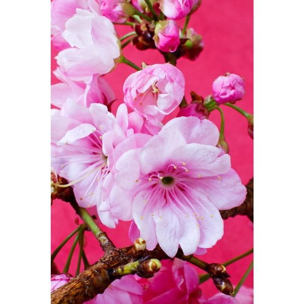Cortesi Home 'Pretty Pink Blossom' Tempered Glass 12-inch x 16-inch Wall Art