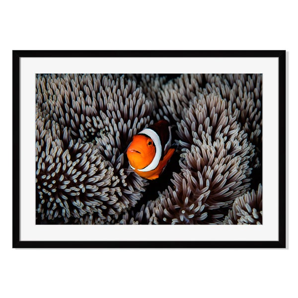 Clownfish and Anemone, Framed Paper Print