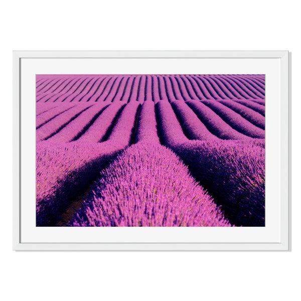 Lavender flower, Framed Paper Print