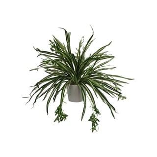 Modern Spider Plant Arrangement - Green