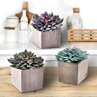 3 piece Set Potted .STAR SUCCULENT N CEMENT 6""