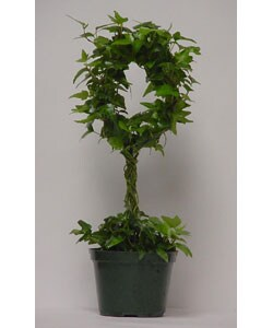 Ivy Double Ring Globe Topiary in Plastic Pot