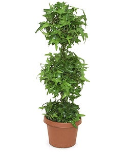 Ivy Double Solid Globe Topiary in Plastic Pot