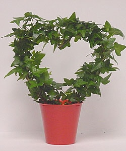 Ivy Heart Topiary in Plastic Terracotta Pot