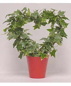 Variegated Ivy Heart Topiary in Plastic Terracotta Pot