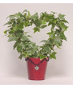Variegated Ivy Heart Topiary in Decorative Tin Pot