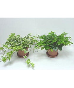 Two Pots of English Ivy