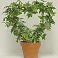 Variegated Ivy Heart in Clay Pot