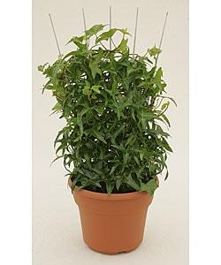 Ivy Trellis in Plastic Pot